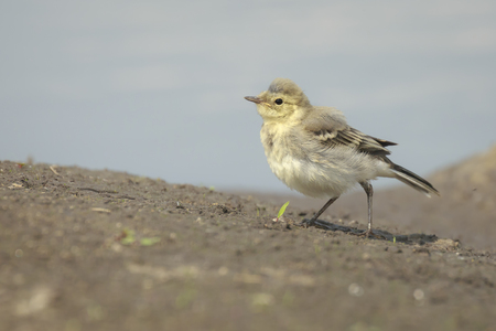 motacilla: Close up of a juvenile White Wagtail, Motacilla alba. A bird with white, gray and black feathers, the young birds are yellow. The White Wagtail is the national bird of Latvia