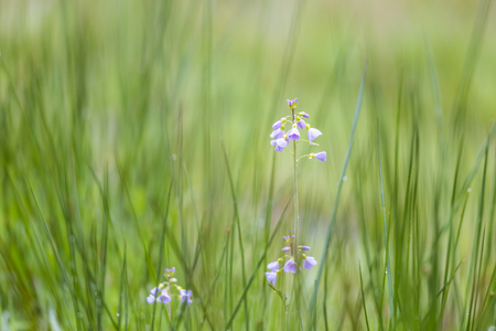 Cuckooflower, Cardamine pratensis, blooming in a wet and fresh meadow during spring. This plant is a host plant for the orange tip butterfly (Anthocharis cardamines). Stock Photo