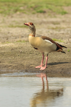 alopochen: Egyptian goose (Alopochen aegyptiacus) drinking water from a pond. They are native to Africa south of the Sahara and the Nile Valley