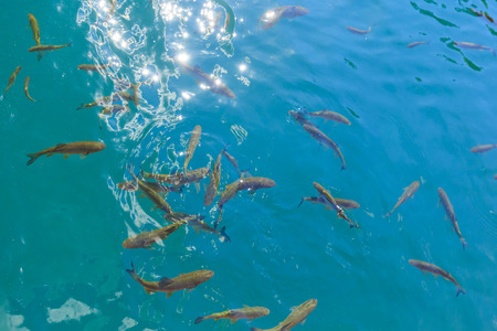 Fish swimming in the clear blue waters of Plitvice lakes, Croatia