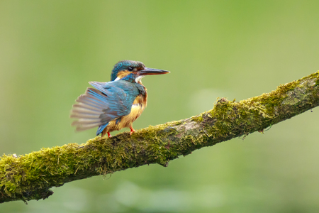 wash: A closeup of a kingfisher (Alcedo atthis) perched and preening on a branch foraging and fishing during Springtime in early morning sunlight. The background is green, selective focus is used. Stock Photo