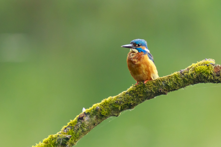 A closeup of a kingfisher (Alcedo atthis) perched on a branch foraging and fishing during Springtime in early morning sunlight. The background is green, selective focus is used.