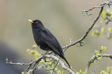 europeans: A male european Blackbird (turdus merula) singing in a tree with yellow blossom on a clear, sunny day in Spring season. Stock Photo