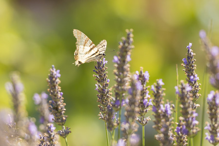 Scarce swallowtail butterfly (Iphiclides podalirius) flying flower to flower while pollination and feeding nectar on purple lavender. Stock Photo