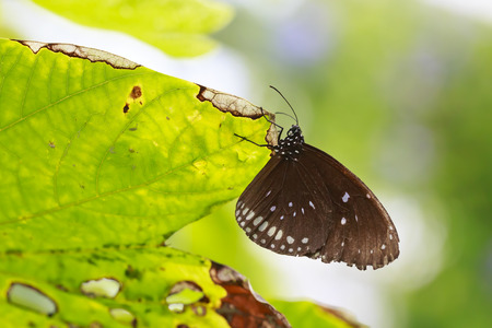 Common Indian Crow (Euploea core) exotic butterfly resting on a green leaf in jungle vegetation