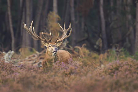 Red deer Cervus elaphus stag with big antlers roaring and rutting showing territorial behaviour during Autumn season.
