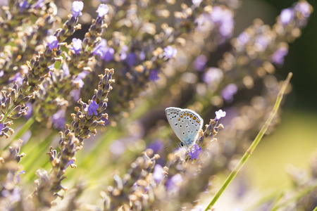 Male common blue butterfly (Polyommatus icarus) flying flower to flower while pollination and feeding nectar on purple lavender. Stock Photo
