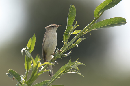 Closeup of a Sedge Warbler bird, Acrocephalus schoenobaenus, singing to attract a female during breeding season in Springtime Stock Photo