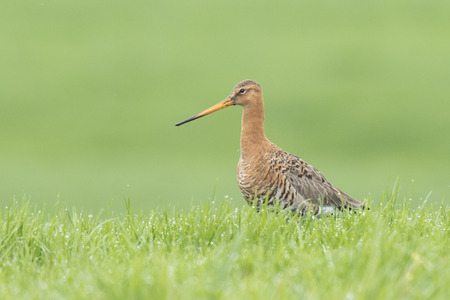 A black-tailed godwit (Limosa Limosa) just returned for this season and walks elegant on farmland with afternoon sunlight in front of him. Most of the European population breed in the Netherlands. Stock Photo