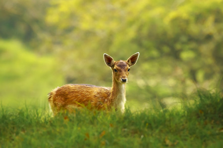 Fallow deer fawn, Dama Dama, walking and foraging in sunrise light and sunrays in a green forest during Fall season.