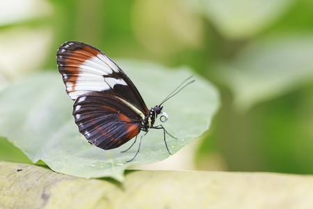 Cydno Longwing tropical butterfly (Heliconius Cydno) resting on jungle vegetation. The background green and vibrant colored. Stock Photo