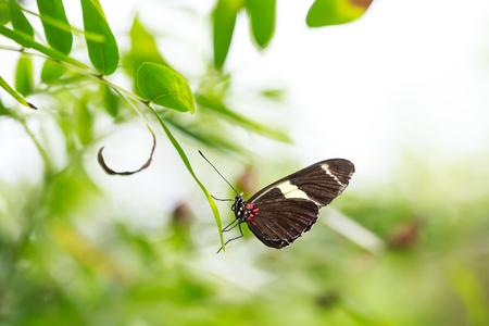 Borboleta tropical do carteiro (Heliconius melpomene erato) descansando na alimentação de néctar em plantas e flores da selva florestal.