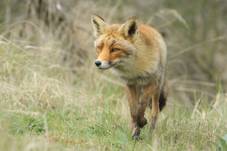 Front view of a wild red fox (vulpes vulpes) walking in a forest during Autumn season. Stock Photo