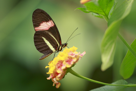 Close up of a red postman tropical butterfly Heliconius erato resting on jungle vegetation and blooming flowers.