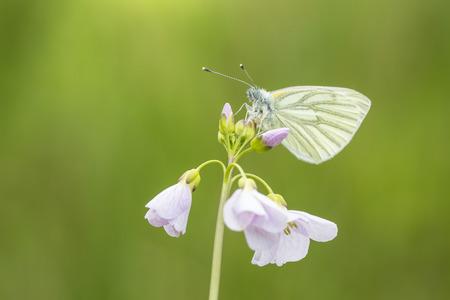 Close up de uma borboleta branca (Pieris napi) verde-veida descansando e alimentando néctar de cuckooflower (Cardamine pratensis) em um prado verde durante a temporada de primavera.