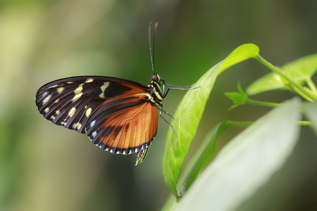 Heliconius hecale, the tiger longwing, Hecale longwing, golden longwing or golden heliconian tropical butterfly, resting on a green leaf in a rainforest.
