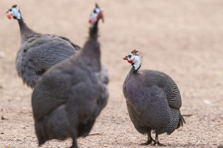 The helmeted guineafowl (Numida meleagris) is the best known of the guineafowl bird family, Numididae, and the Numida genus.