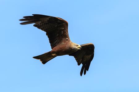 블랙 연 Milvus migrans 육 식 조류 비행, 맑은 날에 사냥. 스톡 콘텐츠