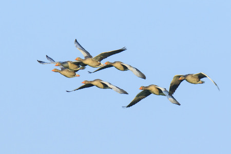 Closeup of two greylag geese (Anser Anser) in flight against a blue sky Archivio Fotografico