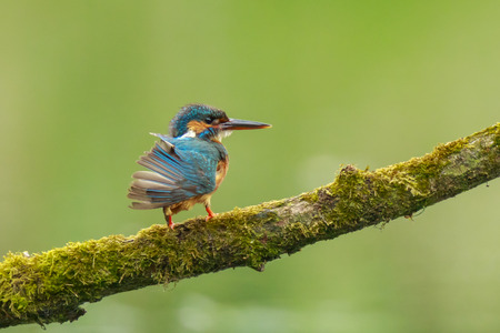 A closeup of a kingfisher (Alcedo atthis) perched and preening on a branch foraging and fishing during Springtime in early morning sunlight. The background is green, selective focus is used. Stock Photo