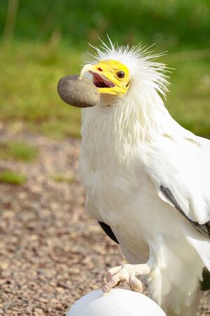 Egyptian vulture (Neophron percnopterus) bird of prey, also called the white scavenger vulture or pharaohs chicken, breaking a big white egg with a stone in his beak.