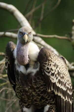 Close up portrait of a Large Eurasian griffon vulture (Gyps fulvus) perched on a branch in a tree.
