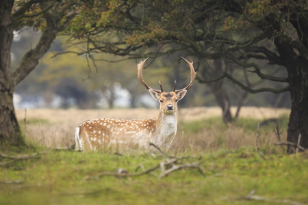 Beautiful big Fallow deer stag, Dama Dama, with large antlers walking proudly in a green meadow during rutting season.