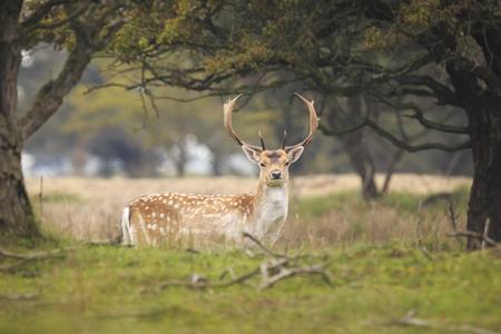 Beautiful big Fallow deer stag, Dama Dama, with large antlers walking proudly in a green meadow during rutting season. Фото со стока - 93405983