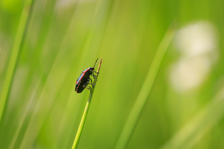 Eurydema oleracea climbing in grass in a colorful meadow. A species of shield bug in the Pentatomidae family and is known as the rape bug, the crucifer shield bug, the cabbage bug or the brassica bug Stock Photo