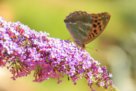 Papillon fritillaire (Argynnis paphia) lavé à l'argent nourrissant le nectar et pollinisant sur un buisson de papillon violet Buddleja davidii Banque d'images