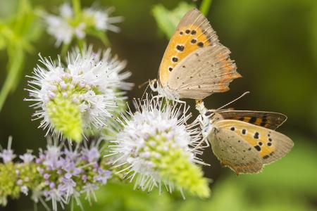 Petit papillon de cuivre ou de cuivre commun, Lycaena phlaeas, s'accouplant, pollinisant et nourrissant du nectar sur des fleurs blanches pendant la saison estivale.
