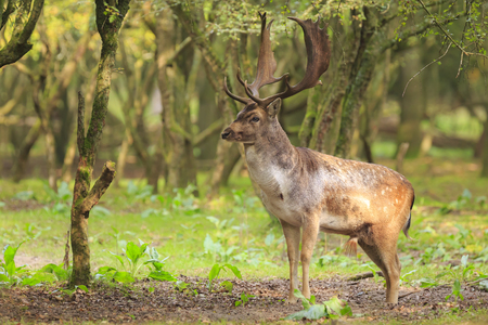 Big Fallow deer buck, Dama Dama, with large antlers walking in a green forest during Autumn season. Stock Photo