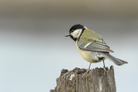 Closeup portrait of a Great tit bird, Parus Major, perched on wood in bright sunlight Stock Photo