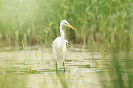 Close-up of a great egret Ardea alba waterfowl bird foraging and hunting in green wetlands with reeds and water