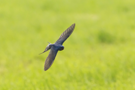 Closeup of a Barn Swallow (Hirundo rustica) in flight. The most widespread species of swallow in the world and the national bird of Estonia.