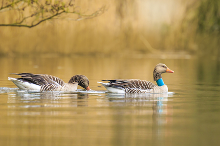 Greylag goose (Anser anser) waterfowl with collar for identification and scientific purposes swimming on the lake water surface on a morning with nice and warm sunlight during Spring season
