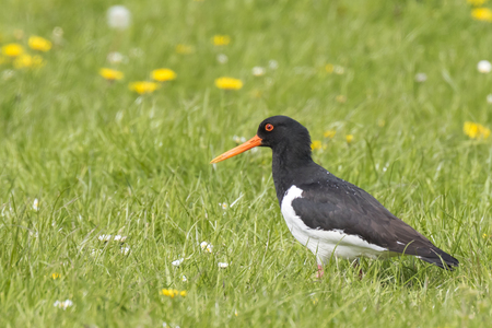 Eurasian oystercatcher wader bird (Haematopus ostralegus) perched in a colorful, blooming meadow foraging, singing and calling during Springtime season.