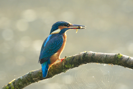 Detailed closeup of a kingfisher bird Alcedo atthis catch and eating a small fish in early morning sunlight during Springtime season. Stock Photo