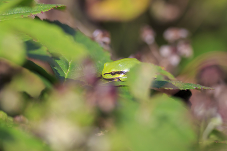 Closeup of a small European tree frog (Hyla arborea or Rana arborea), resting in a blackberry bush heating up in the sun.