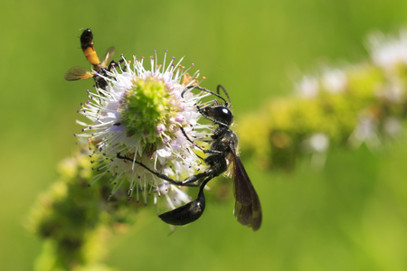 Strange looking insect Ammophila sabulosa, the red-banded sand wasp feeding on a white flower. Stock Photo