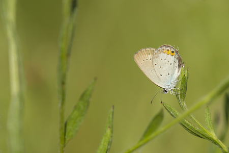 Close up of a short-tailed blue or tailed Cupid, Cupido argiades, resting on vegetation in sunlight during daytime in Summer season Stock Photo