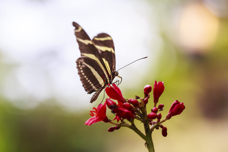 Zebra longwing (Heliconius charitonius) tropical butterfly resting in feeding nectar in jungle forest plants and flowers. Foto de archivo