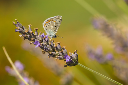 Close up of a  Common Blue butterfly, Polyommatus icarus, resting on vegetation in sunlight during daytime in Summer season