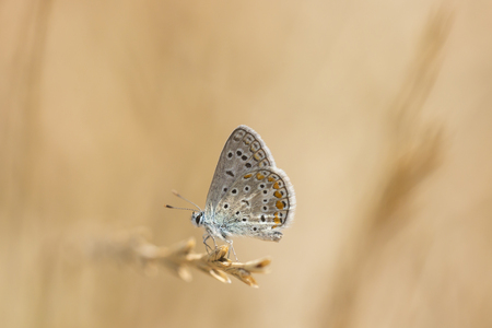Close up of a Common Blue butterfly Stock Photo