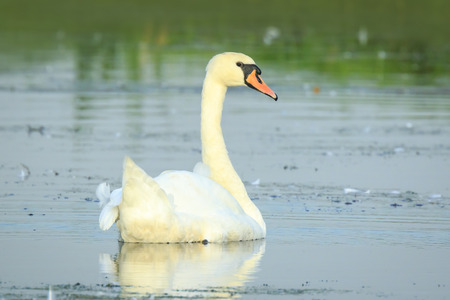 Mute swan, Cygnus olor, swimming on the blue water surface. It is a sunny day. Banco de Imagens
