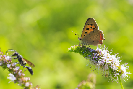 Closeup of a small or common Copper butterfly, lycaena phlaeas, feeding nectar of white flowers in a floral and vibrant meadow with bright sunlight.