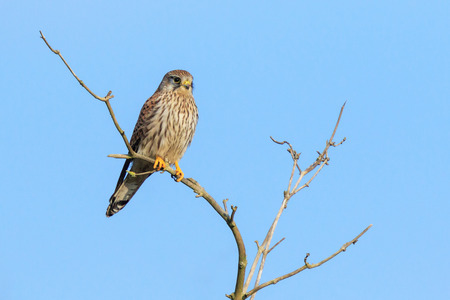 Closeup portrait of a female Common Kestrel (falco tinnunculus) resting on a branch in a tree top