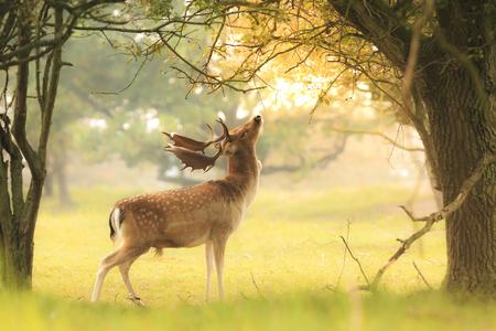 Stolzer männlicher Damhirsch, Dama Dama, mit großen Geweihen, die während des Herbstsonnenaufgangs in einem dunkelgrünen Wald nach Blättern und Beeren suchen. Standard-Bild