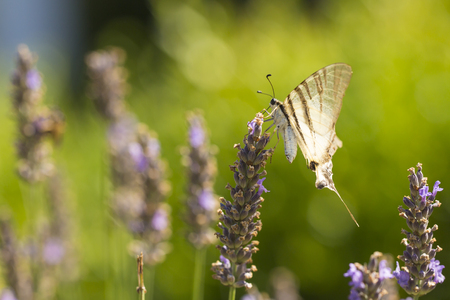 Scarce swallowtail butterfly (Iphiclides podalirius) flying flower to flower while pollination and feeding nectar on purple lavender. Фото со стока