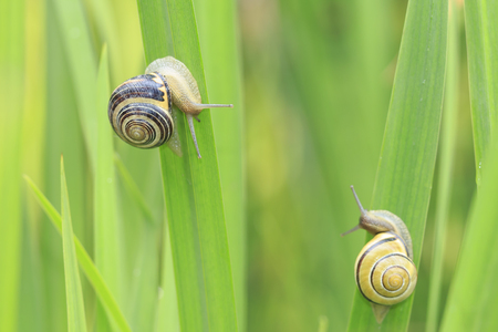 Close up of two grove snails, brown-lipped snail (Cepaea nemoralis) breeding, mating, feeding and climbing green reeds in a garden.